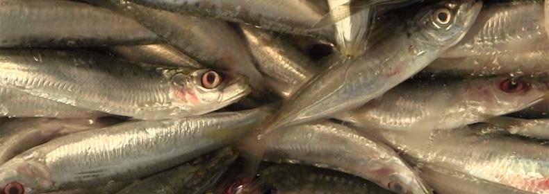 «Prodotti della pesca: le parassitosi» [video]