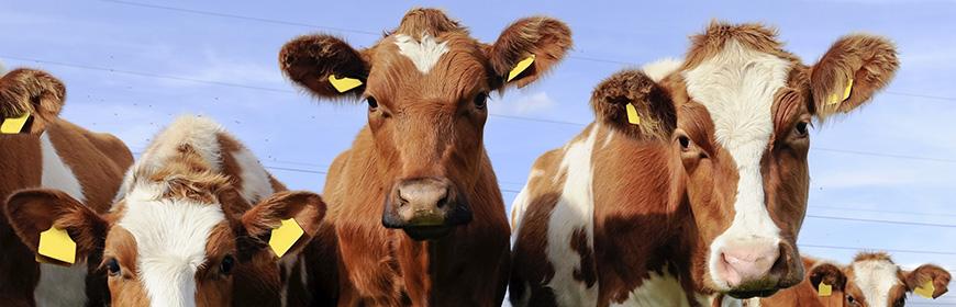 Encefalopatia spongiforme bovina (BSE)