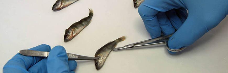 Malattie dei pesci, molluschi e crostacei