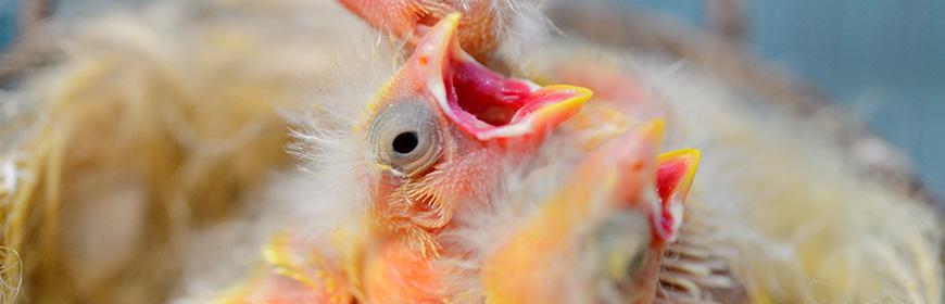 Il controllo precova nella prevenzione delle patologie degli uccelli ornamentali