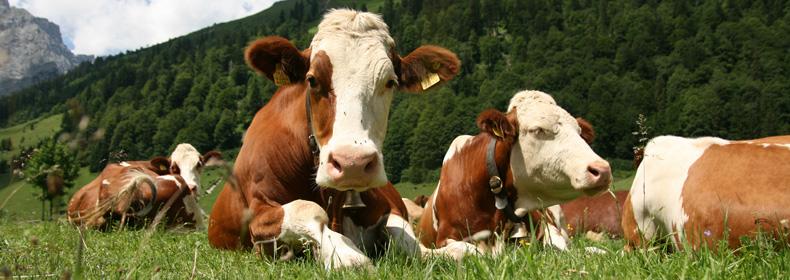 Valutazione dei rischi-benefici associati al consumo di latte crudo vaccino