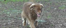 Malattie del cane: la leishmaniosi canina