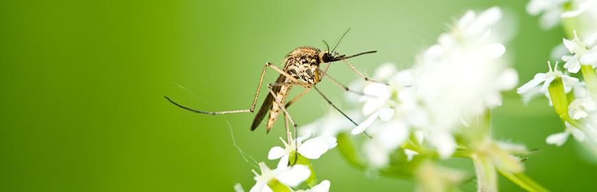 Insetti, zanzare e zecche