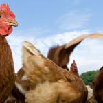 Trasmissione dei virus influenzali dagli animali all'uomo: i risultati del progetto FluRisk