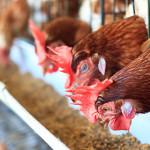 Influenza aviaria negli USA
