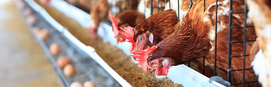 Influenza aviaria in USA