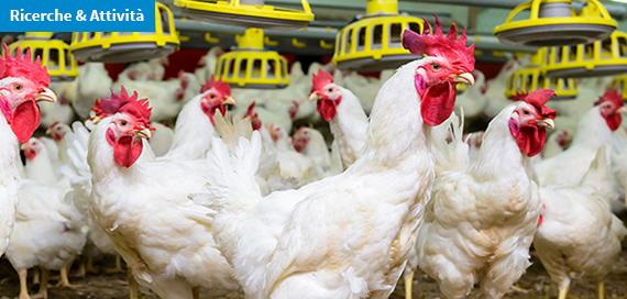 Batteriocine, un'alternativa agli antibiotici per contrastare il Campylobacter negli allevamenti avicoli?