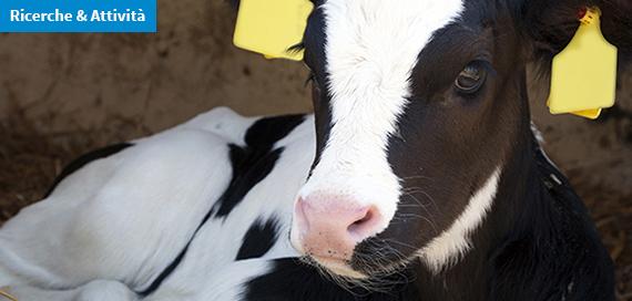 Il benessere di vitelle e manze negli allevamenti di bovine da latte del Veneto