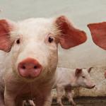 Efficacia in campo della vaccinazione contro H1N1 pandemico nei suini