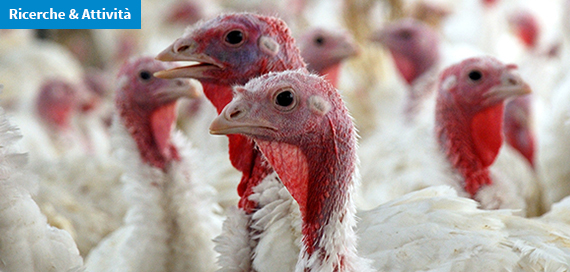 Influenza aviaria: il contributo dell'epidemiologia sociale alla biosicurezza negli allevamenti