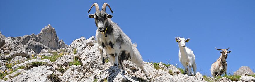 Lentivirus dei piccoli ruminanti: strategie di controllo nella Provincia di Bolzano