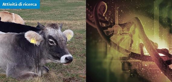 Tracciabilità genetica per promuovere i prodotti ottenuti da razze bovine dell'arco alpino