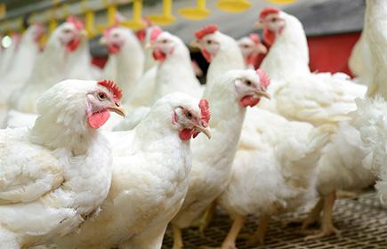 La trasmissione dei virus di influenza aviaria