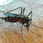 La zanzara giapponese è arrivata in Italia