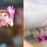 Nuove strategie diagnostiche per il controllo delle micoplasmosi aviari