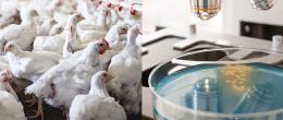 Escherichia coli produttori di enzimi che conferiscono resistenza agli antibiotici. Quanto sono diffusi negli avicoli?