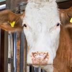 Trattamenti illeciti nei bovini da carne: un metodo indiretto e più efficace per rintracciarli