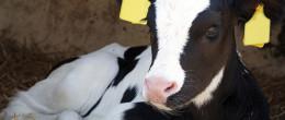 Il benessere di vitelli e manze negli allevamenti di bovine da latte del Veneto