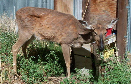 Chronic Wasting Disease nei cervidi: sintomi