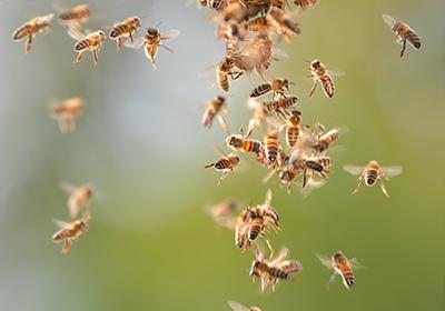 Moria colonia d'api