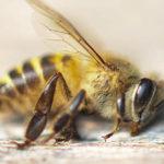 Lo stato di salute delle api in Italia. Risultati del monitoraggio nazionale