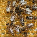 Perdite di colonie di api nell'inverno 2015/16: risultati preliminari dello studio COLOSS
