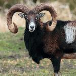 Bluetongue: l'impatto sugli animali selvatici e il loro ruolo epidemiologico