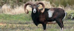 Bluetongue e animali selvatici: scheda di approfondimento