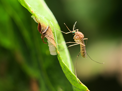 culex pipiens mosquito west nile disease WNV