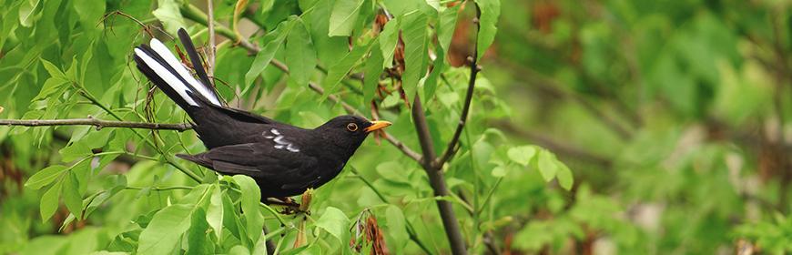 West Nile: che uccelli selvatici monitorare per la sorveglianza del virus?