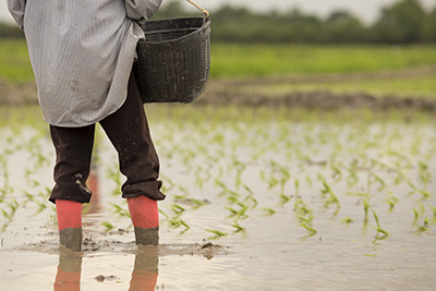 human in a flooded rice field