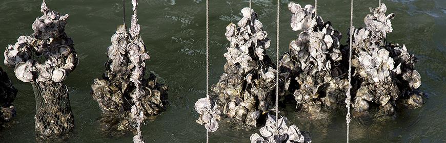 Morie di vongole e ostriche. Il rapporto tra patogeni, ambiente e tecniche di allevamento