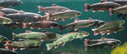Novimark: conoscere i Novirhabdovirus per la salute di trote e salmoni