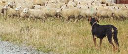 Echinococcosi, un rischio per la salute del cane e dell'uomo