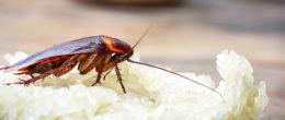 Corso ECM / Artropodi infestanti le strutture ricettive: le blatte
