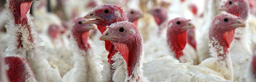 Influenza Aviaria Epidemiologia Sociale Biosicurezza Allevamenti