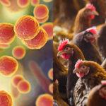 Micoplasmosi aviari, poste le basi per un test rapido di rilevazione sul campo