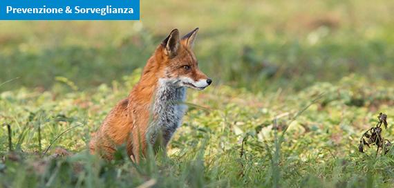 Casi di cimurro nelle volpi in Friuli Venezia Giulia