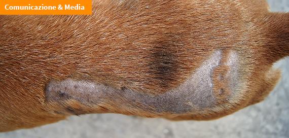 Micosi e dermatofiti, i funghi della pelle che colpiscono gli animali e l'uomo
