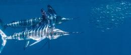 Billfish project. Valutare la contaminazione da mercurio nei marlin dei Caraibi e i rischi per i consumatori