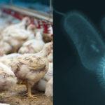 Campylobacter negli avicoli, l'infezione è correlata alle modificazioni del microbiota intestinale
