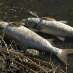 Morie di pesci causate da pesticidi. Primo report di una moria causata da piretroidi in acque dolci italiane