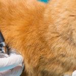 Quanto sono diffusi i parassiti polmonari nei gatti domestici d'Europa?