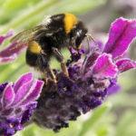 Mortalità delle api, uso di pesticidi e presenza di virus: esiste una relazione?