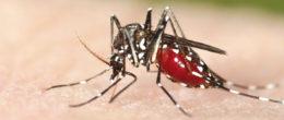 Appunti di scienza: zanzara tigre