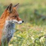Casi di cimurro in volpi e tassi nel Nord Est