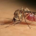 Vettori della West Nile, Culex pipiens s.l. la specie di zanzara più coinvolta in Italia