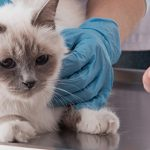 È attiva la Banca del sangue IZSVe felino. Iscrivi il tuo gatto come donatore
