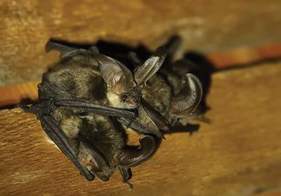 Colonia di pipistrelli