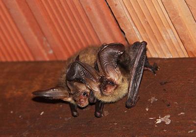 Pipistrello in casa